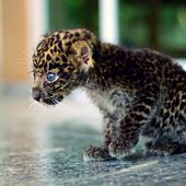 Tiny Jaguar cub
