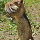 A chipmunk mother holding her baby in her arms❤