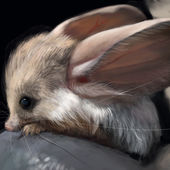 Long eared jerboa baby