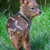 Baby Pudu, the world's smallest deer