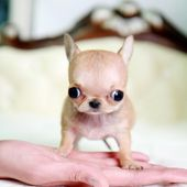 Micro teacup chihuahua puppy