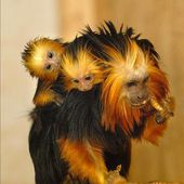 Golden-headed lion tamarin babies