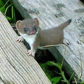 Adorable baby stoat