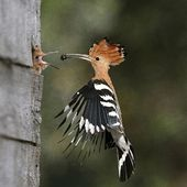 Hoopoe feeds her nestling