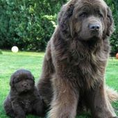 Newfoundland mom and her pup