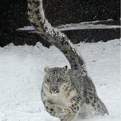 1-year-old snow leopard