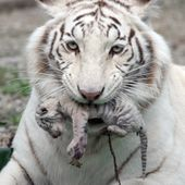 White Albino Tiger and cub