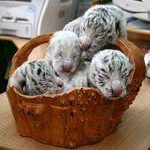Baby white tigers just born