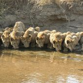 Lion cubs gathering at the water hole