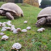 Tortoise gives birth to 45 babies