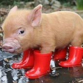 Tiny piglet in red rain boots