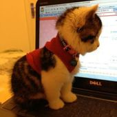 Online shopping kitten