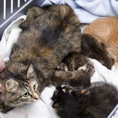 Cat Zoe adopts orphaned wild bobcats