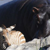 A hippo saves young wildebeest