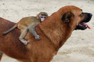 Dog adopts a 3-month-old monkey