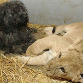 Dog adopts lion cub in zoo