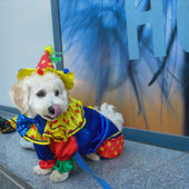 Little Clown Puppy