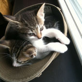 Two Kittens Share a Hat