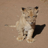 Lonely Lion Cub