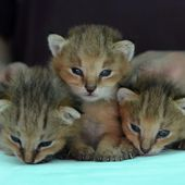 Three Jungle Lynx kittens