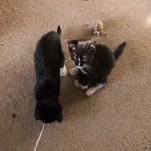 The Kittens and the Toy