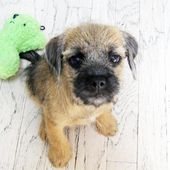 Jake the Border Terrier Pup