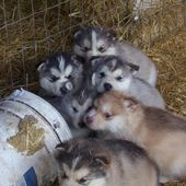Husky Puppies