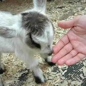 Eating Baby Goat