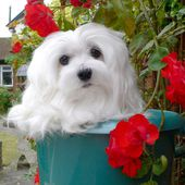 Snowdrop the Maltese