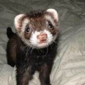 Innocent baby ferret