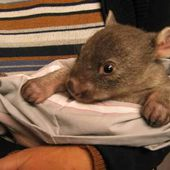 Startled baby wombat