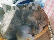 Wombat and Baby