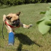 Pug in Flight