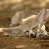 Napping Fennec Fox Baby