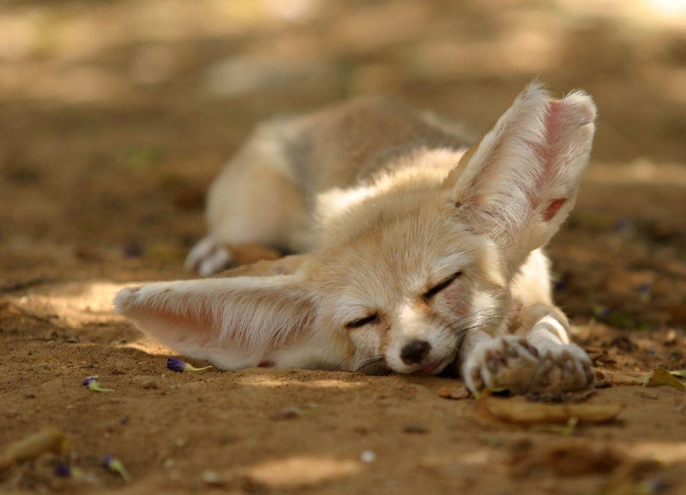Napping Fennec Fox Baby Fennec Fox Newborn