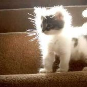 Power Hair Kitten
