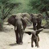 Baby elephant jumps for joy so cute