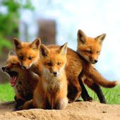 Cute Fox Cubs