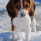 Beagle Puppy in Snow