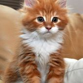 Adorable cute white and orange kitty
