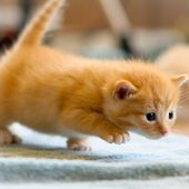 Ginger kitten pointing
