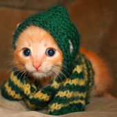 Cute looking kitten in a sweater!