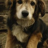 Golden Retriever Beagle mix.