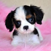 Tiny King Charles Spaniel Puppy