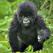 baby mountain gorilla.. so cute..