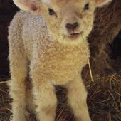 Louise, a 6 day old Cotswold ewe