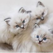 silver chinchilla persian kittens
