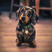 Dapple doxie.