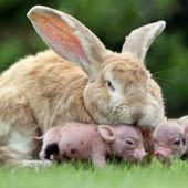Rabbit adopted some baby pigs
