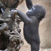 Adorable Baby Gorilla